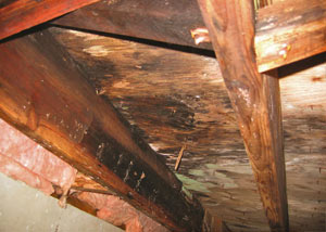 Extensive crawl space rot damage growing in Wesson