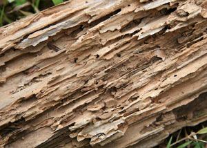 Termite-damaged wood showing rotting galleries outside of a Kosciusko home